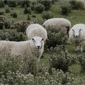 ラグマット フォーク・モコ(FOLK moco)【通年/おしゃれ/インテリア】ニュージーランドの羊画像