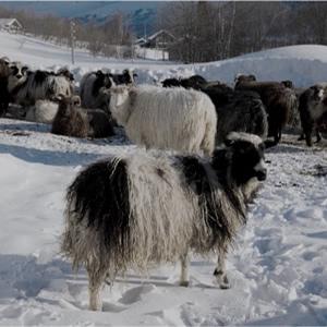 ラグマット ノルディック・ルミ(NORDIC lumi)【通年/おしゃれ/インテリア】ノルウェーの羊画像
