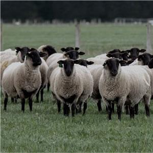 ラグマット ツイード・ヘリボン(TWEED herringbone)【通年/おしゃれ/インテリア】の英国の羊画像
